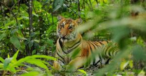 chitwan tiger